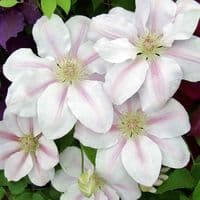 Clematis CHANTILLY™ Evipo021